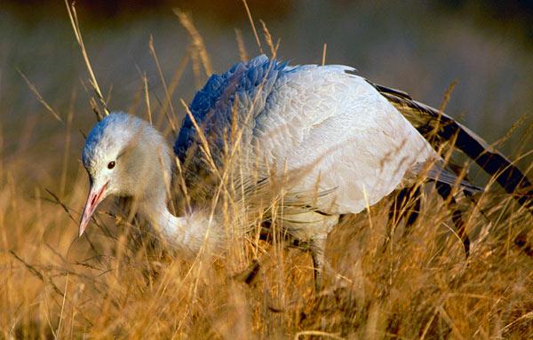 blue-crane